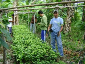 El cacao, el café y la ganadería, constituyen el eje de desarrollo sostenible en Sivia